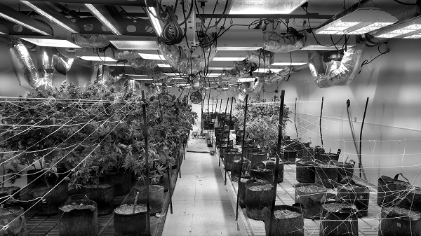 Indoor cannabis farming requires massive quantities of energy for lighting and climate control. This photo shows a Denver facility attempting more sustainable greenhouse cultivation. Nick Johnson