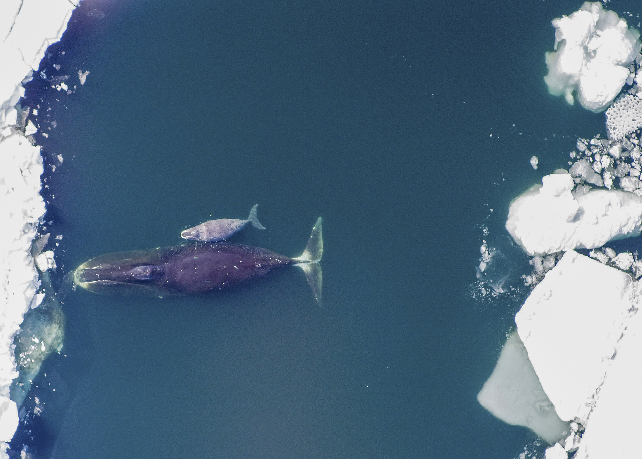 Bowhead whales like these, photographed in the Arctic Ocean, are just one of the fascinating topics related to the Anthropocene presented by historians at AHA20.