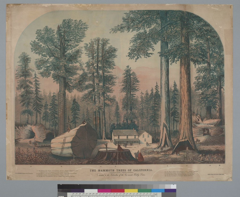 Kawaguchi's US history survey course in environmental history focuses on California, where the introduction of European plant and animal species disrupted the native ecosystem. The Mammoth Trees of California, Calaveras County, Sequoia Gigantea [redwood], ca. 1855, UC Berkeley, Bancroft Library, via Calisphere