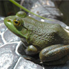 The Japanese Bullfrog
